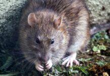 Are wild rats dangerous?